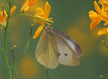 Cabbage White (Pieris rapae) on Field Mustard (Brassica rapa)  -  Kazuo Unno/ Nature Production