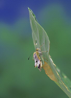 Cabbage White (Pieris rapae) butterfly emerging from chrysalis, Japan, sequence 4 of 14  -  Kazuo Unno/ Nature Production