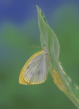 Cabbage White (Pieris rapae) butterfly emerging from chrysalis, Japan, sequence 14 of 14  -  Kazuo Unno/ Nature Production