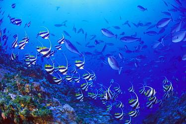 Bannerfish (Heniochus diphreutes) and Unicornfish (Naso maculatus)on coral reef, Yomejima, Ogasawara Island, Tokyo, Japan  -  Takashi Uzu/ Nature Production