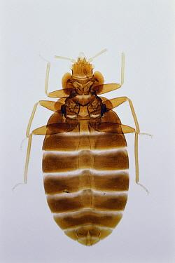 Bed Bug (Cimex lectularius)  -  Toshio Wakui/ Nature Production