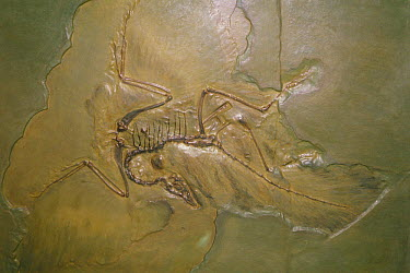 Archaeopteryx (Archaeopteryx lithographicus) bird fossil replica  -  Toshio Wakui/ Nature Production