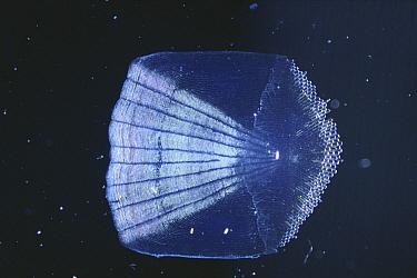 Japanese Seabass (Lateolabrax japonicus) scale under microscope  -  Toshio Wakui/ Nature Production