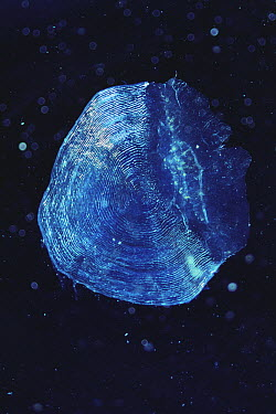 Chum Salmon (Oncorhynchus keta) scale under microscope  -  Toshio Wakui/ Nature Production