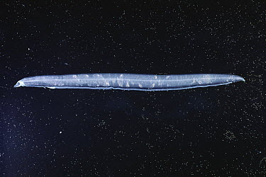 White-spotted Conger (Conger myriaster) eel larva  -  Toshio Wakui/ Nature Production