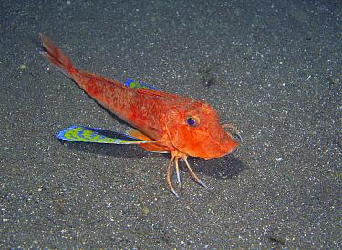 Spiny Red Gurnard (Chelidonichthys spinosus), Izu, Shizuoka, Japan  -  Noriaki Yamamoto/ Nature Product