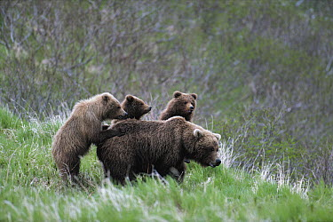 Kodiak Bear (Ursus arctos middendorffi) female with cubs  -  Shin Yoshino/ Nature Production