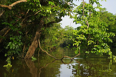 Mangroves, Kinabatangan River, Malaysia  -  Hiroya Minakuchi