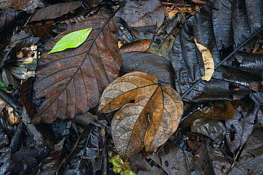 Fallen leaves, Danum Valley, Malaysia  -  Hiroya Minakuchi