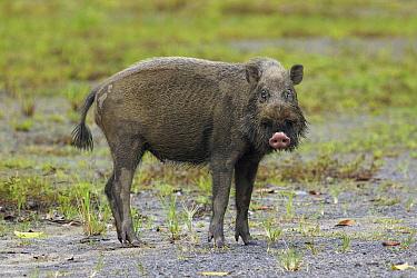 Bearded Pig (Sus barbatus), Malaysia  -  Hiroya Minakuchi