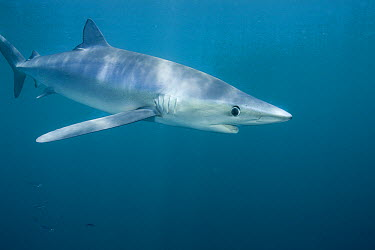 Blue Shark (Prionace glauca) large female, eight miles off La Jolla, San Diego, California  -  Richard Herrmann