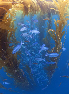 Halfmoon (Medialuna californiensis) school taking shelter under Giant Kelp (Macrocystis pyrifera) one hundred miles offshore from San Diego, Cortes Bank, California  -  Richard Herrmann