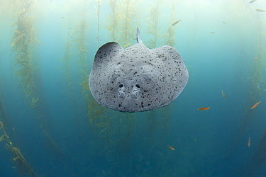 Electric Ray (Torpedo californica), one hundred miles offshore from San Diego, Cortes Bank, California  -  Richard Herrmann