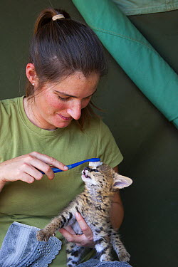 Serval (Leptailurus serval) five week old orphan cub being groomed by Suzi Eszterhas with toothbrush which resembles mother's tongue, Masai Mara, Kenya  -  Suzi Eszterhas