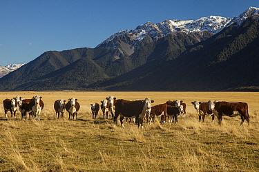 Hereford Cattle (Bos taurus) herd, Mount White Station, Waimakariri River, Arthur's Pass National Park, New Zealand  -  Colin Monteath/ Hedgehog House