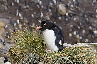 Rockhopper Penguin (Eudyptes chrysocome) sitting amid tussock grass, Falkland Islands  -  Konrad Wothe