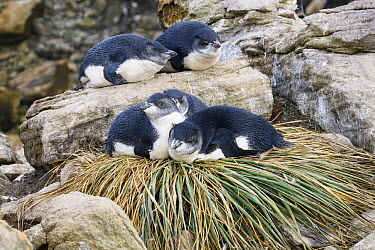 Rockhopper Penguin (Eudyptes chrysocome) chicks resting on tussock grass nest, Falkland Islands  -  Konrad Wothe
