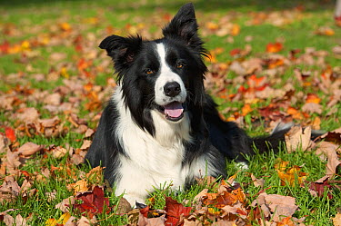 Border Collie (Canis familiaris) resting among autumn leaves  -  Mark Raycroft