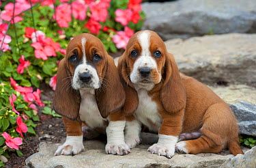 Basset Hound (Canis familiaris) puppies  -  Mark Raycroft