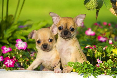 Chihuahua (Canis familiaris) puppies  -  Mark Raycroft