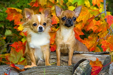 Chihuahua (Canis familiaris) pair with autumn leaves  -  Mark Raycroft