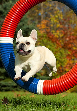 French Bulldog (Canis familiaris) jumping through ring  -  Mark Raycroft