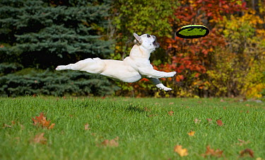 French Bulldog (Canis familiaris) catching frisbee  -  Mark Raycroft