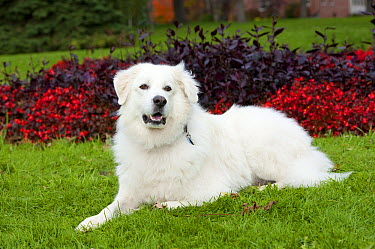 Great Pyrenees (Canis familiaris)  -  Mark Raycroft