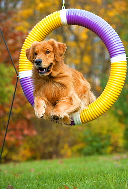 Golden Retriever (Canis familiaris) jumping through ring  -  Mark Raycroft