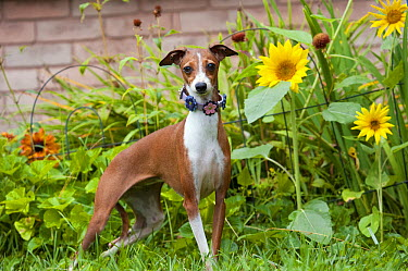 Italian Greyhound (Canis familiaris)  -  Mark Raycroft