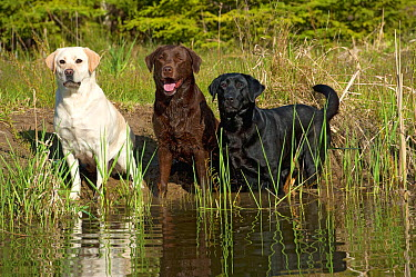 Labrador Retriever (Canis familiaris) trio in water  -  Mark Raycroft