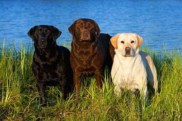 Labrador Retriever (Canis familiaris) trio  -  Mark Raycroft