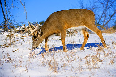 White-tailed Deer (Odocoileus virginianus) buck in winter, North America  -  Mark Raycroft