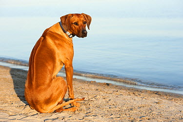 Rhodesian Ridgeback (Canis familiaris) on beach  -  Mark Raycroft