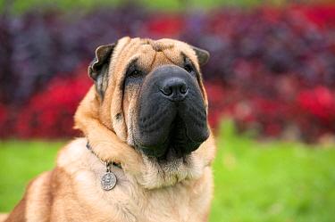 Shar Pei (Canis familiaris)  -  Mark Raycroft