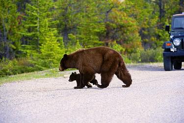 Black Bear (Ursus americanus) mother and cub crossing road, North America  -  Mark Raycroft