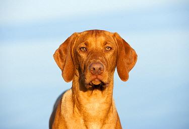 Vizsla (Canis familiaris) puppy  -  Mark Raycroft