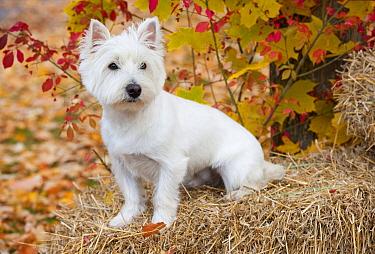 West Highland White Terrier (Canis familiaris) on hay bale  -  Mark Raycroft