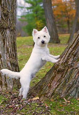 West Highland White Terrier (Canis familiaris) climbing tree  -  Mark Raycroft