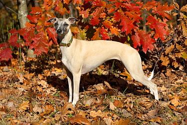 Whippet (Canis familiaris)  -  Mark Raycroft