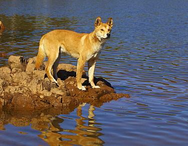 Dingo (Canis lupus dingo) on lake shore, Victoria, Australia  -  Martin Willis