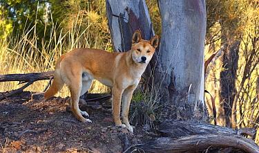 Dingo (Canis lupus dingo), Victoria, Australia  -  Martin Willis