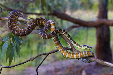 Carpet Python (Morelia spilota variegata) in tree, Northern Territory, Australia  -  Martin Willis
