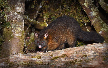 Common Brush-tailed Possum (Trichosurus vulpecula) at night, Cradle Mountain-Lake Saint Clair National Park, Tasmania, Australia  -  Martin Willis