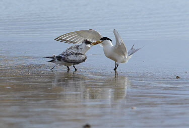 Great Crested-Tern (Sterna bergii) parent bringing food for chick, Wilsons Promontory National Park, Victoria, Australia  -  Martin Willis