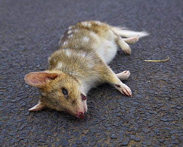 Eastern Quoll (Dasyurus viverrinus) killed on road, Tasmania, Australia  -  Martin Willis
