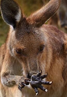 Eastern Grey Kangaroo (Macropus giganteus) licking arms to stay cool, Tasmania, Australia  -  Martin Willis