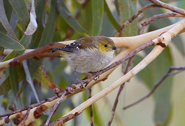 Forty-spotted Pardalote (Pardalotus quadragintus), Bruny Island, Tasmania, Australia  -  Martin Willis