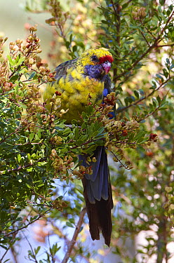 Green Rosella (Platycercus caledonicus), Tasmania, Australia  -  Martin Willis