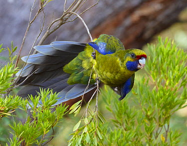 Green Rosella (Platycercus caledonicus), Bruny Island, Tasmania, Australia  -  Martin Willis